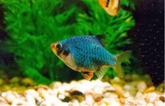 4 Cara Membedakan Ikan Green Tiger Jantan dan Betina dengan Mudah