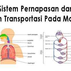 Sistem Pernapasan dan Sistem Transportasi Pada Manusia
